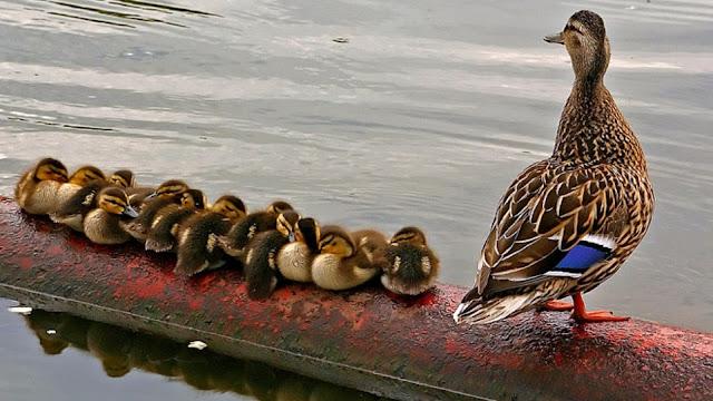 البطه,خلفية بط,خلفيات, خلفيات طيور, Duck,Duck Wallpapers,Wallpapers,
