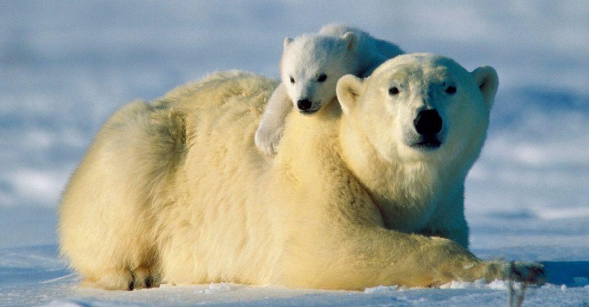 El oso polar: características, alimentación, hábitat, reproducción y ...