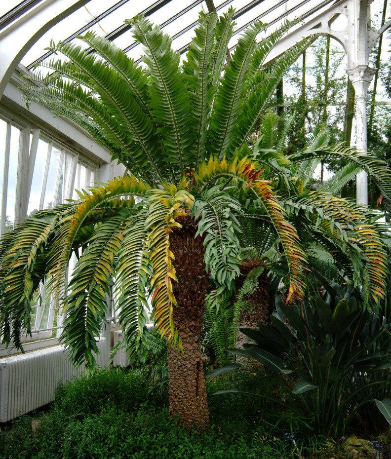 Cícada de Wood (Encephalartos woodii) Kew Gardens