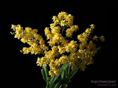 Micro-orquídea Oncidium Twinkle 'Yellow Fantasy'