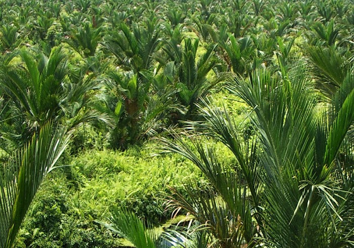 5 Manfaat Sagu ini, Pasti Membuat Anda Berpikir 50 Kali untuk Menjual Lahan di Papua