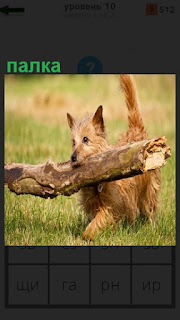По траве бежит собака и в пасти несет небольшую палку, подняв хвост