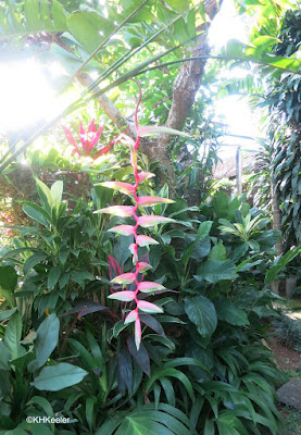 pink heliconia, Bali