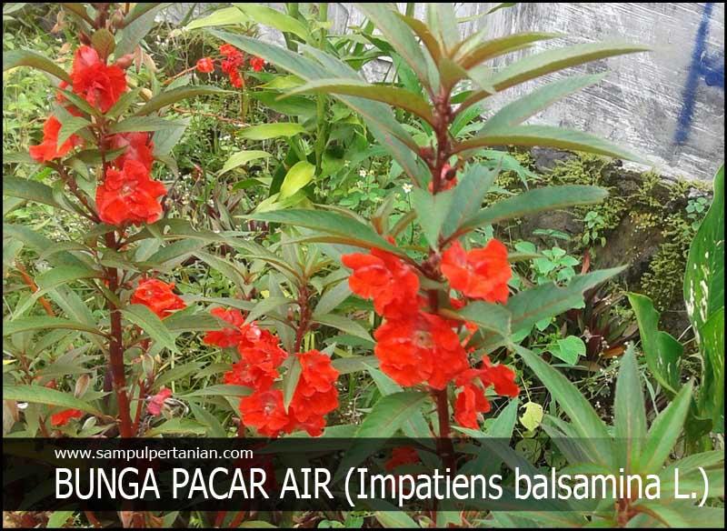 Download 81 Gambar Bunga Pacar Air Ungu HD Terbaru