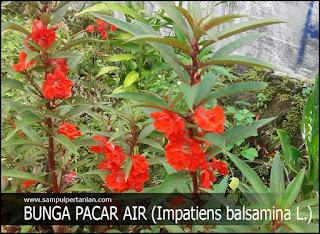 BUNGA PACAR AIR (Impatiens balsamina L.) Mengenal, Morfologi dan Klasifikasi