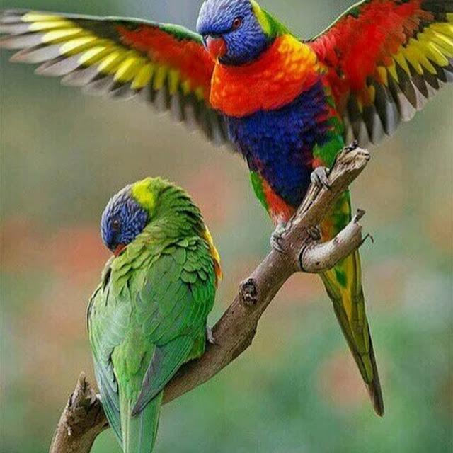 Savera Macaw