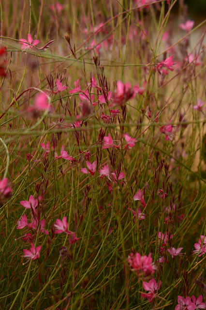 Gaura, oenothera, lindheimeri, pink, small sunny garden, amy myers, photography, desert garden, summer bloom, august