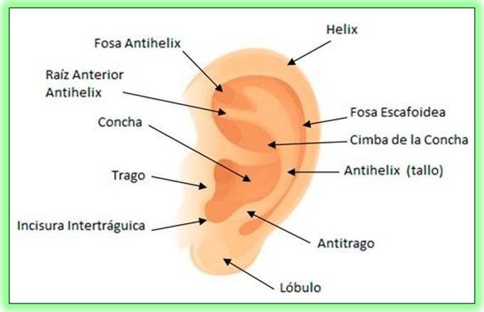 El Oído como Fonorreceptor ~ Biopsicosalud