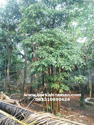 jual pohon pule grouping