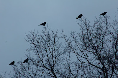 a murder of crows behind the house