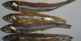 Ikan Teri Telah Menjadi Makanan Favorit masyarakat Indonesia Dan Terkadang Kita Susah Unt Kabar Terbaru- JENIS IKAN TERI