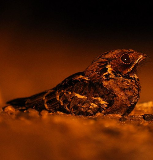 Indian birds - Picture of Jerdon's nightjar - Caprimulgus atripennis