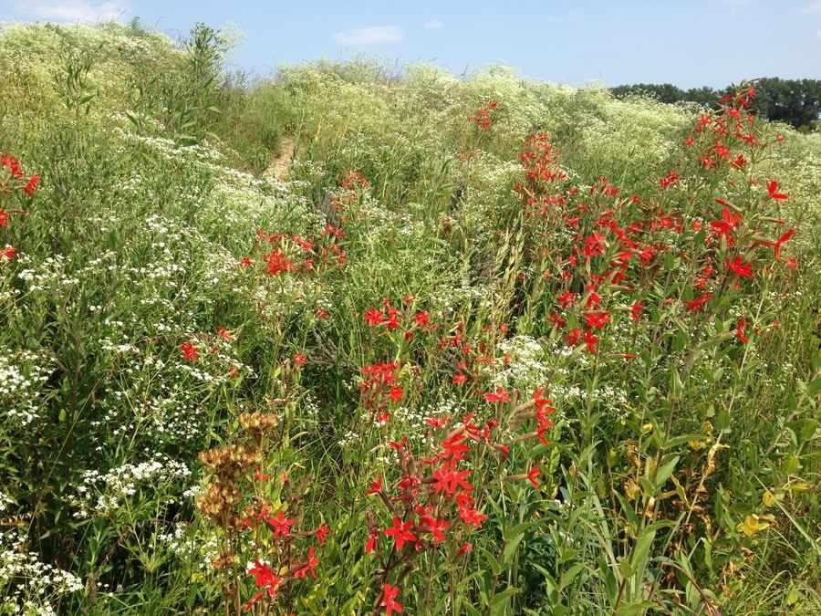 Chicago Botanic Garden's Dixon Prairie with vivid red Silene virginica and Euphorbia corollata