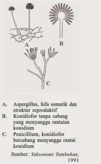 Penicillium, jamur fungi, ciri fungi