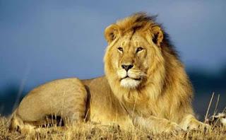 León del Atlas, ajeno a la práctica extinción de su especie