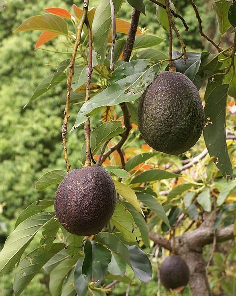 Avocado Tree Image