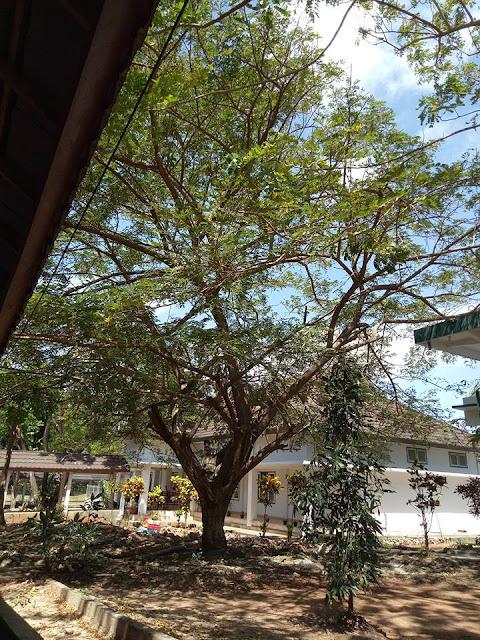 Pohon Besar Dapat Membangkitkan Sensasi