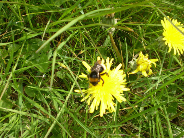 Bee busy at work on a Dandelion