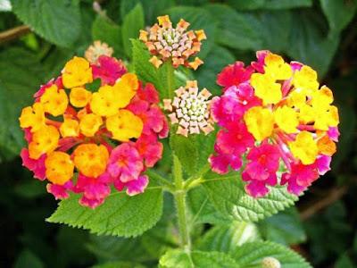 Bunga Tercantik di Dunia-Lantana Camara