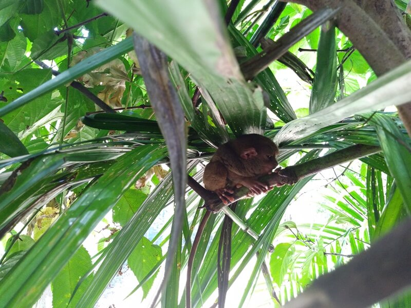 Camera Test - Tarsier
