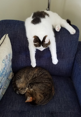 image of Olivia the White Farmcat hanging over the back of a blue chair, napping, while Sophie the Torbie Cat is curled up on its seat