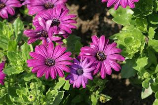 Dimorphotheca ecklonis 'Serenity Dark Purple' - Osteospermum ecklonis 'Serenity Dark Purple'