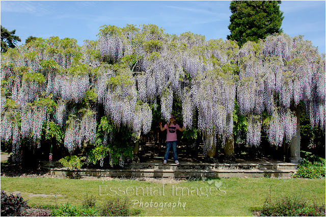 Wonderful wisteria at Exbury