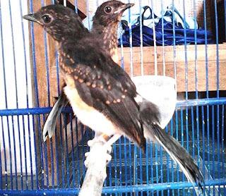 Burung Murai Batu - Pola Perawatan Harian Burung Murai Batu - Penangkaran Pola Perawatan Harian Murai Batu