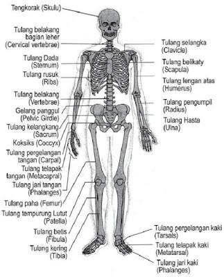 Nama - Nama Tulang (Latin) pada Tubuh - berbagaireviews.com
