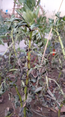(Behind stick) Robin Hood Fava (Frost of stick) Windsor Fava