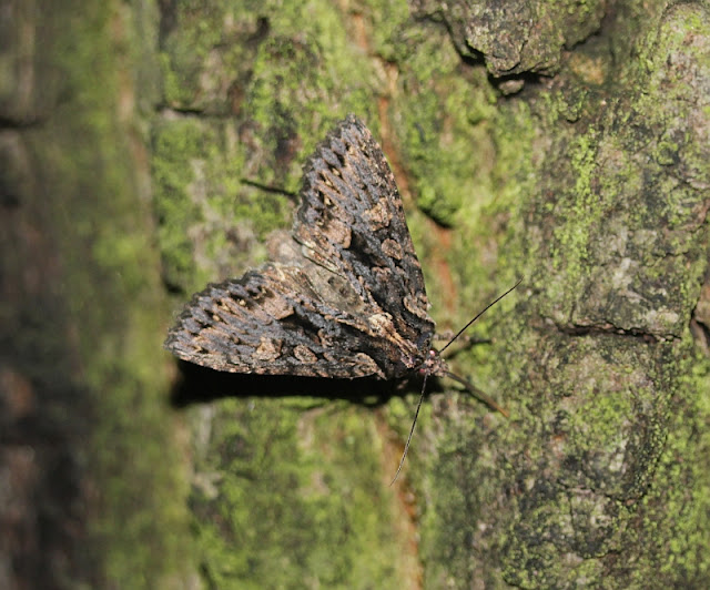 Dunkelbraune Waldrandeule, Mniotype satura
