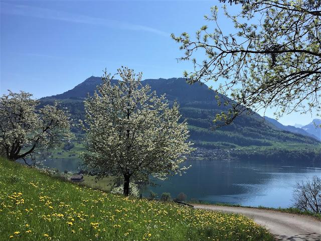 Auf dem Wanderweg: Aussicht auf die Rigi und den Vierwaldstättersee; im Vordergrund blühende Obstbäume