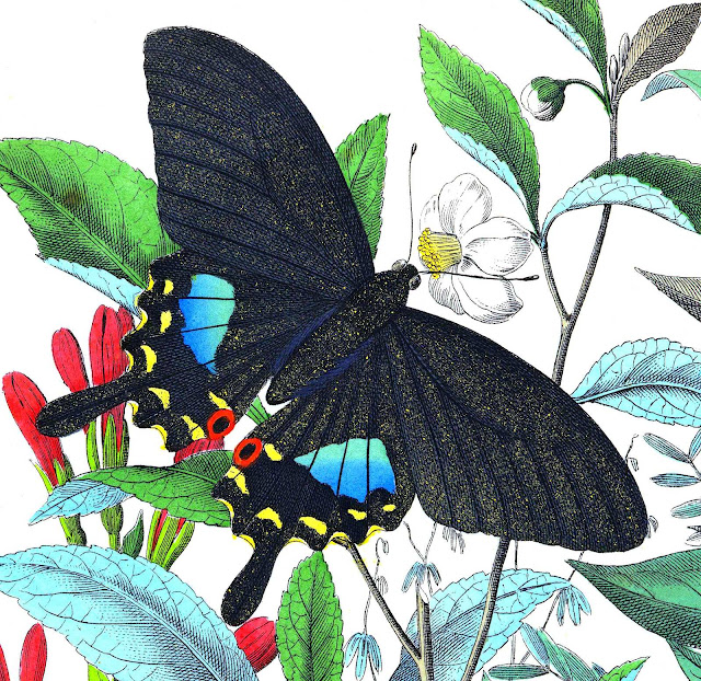 Peter Kolb 1800s color illustration of a black butterfly