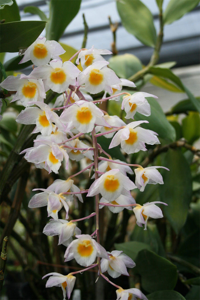 Grow And Care Dendrobium Amabile Dendrobium Bronckartii Callista