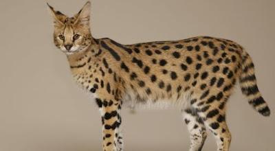 Zeki Kedi Irkı-Savannah