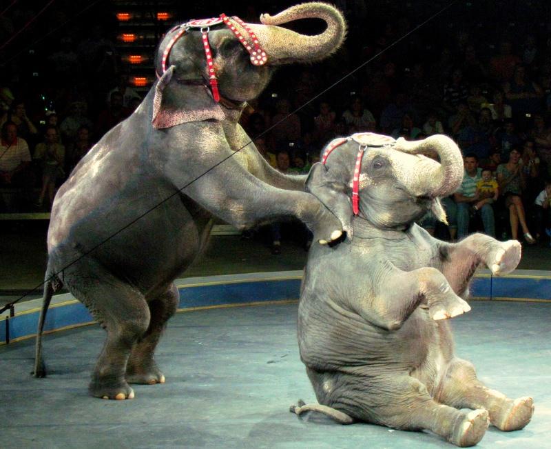 Elefantes no circo