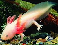 AXOLOTL salamander meksiko atau moster air yang memiliki kemampuan luarbiasa