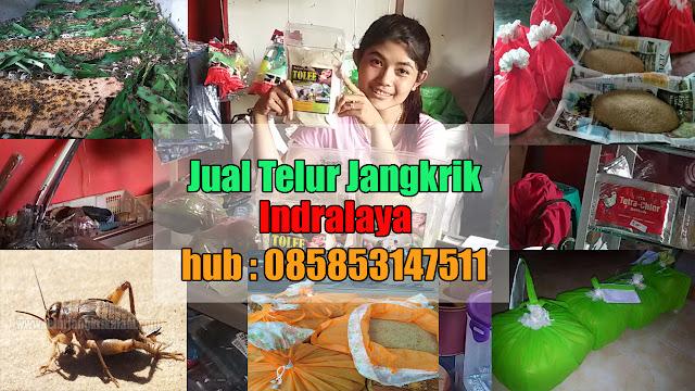 Jual Telur Jangkrik Indralaya Hubungi 085853147511