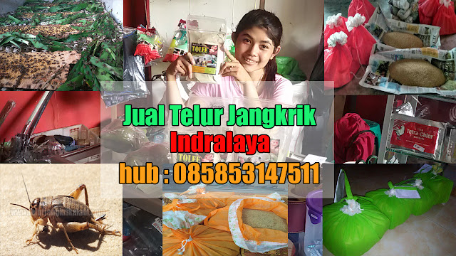 Anda mencari kawasan jual telur jangkrik Indralaya Order WA 0858-5314-7511 Bibit Telur Jangkrik Indralaya