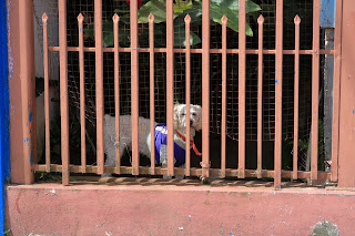 Small dog behind gate in Puriscal.