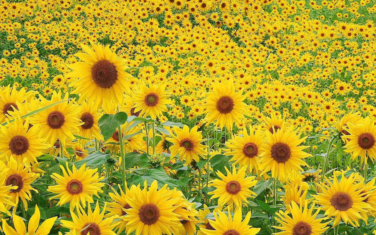 wallpaper: Sunflowers Desktop Wallpapers