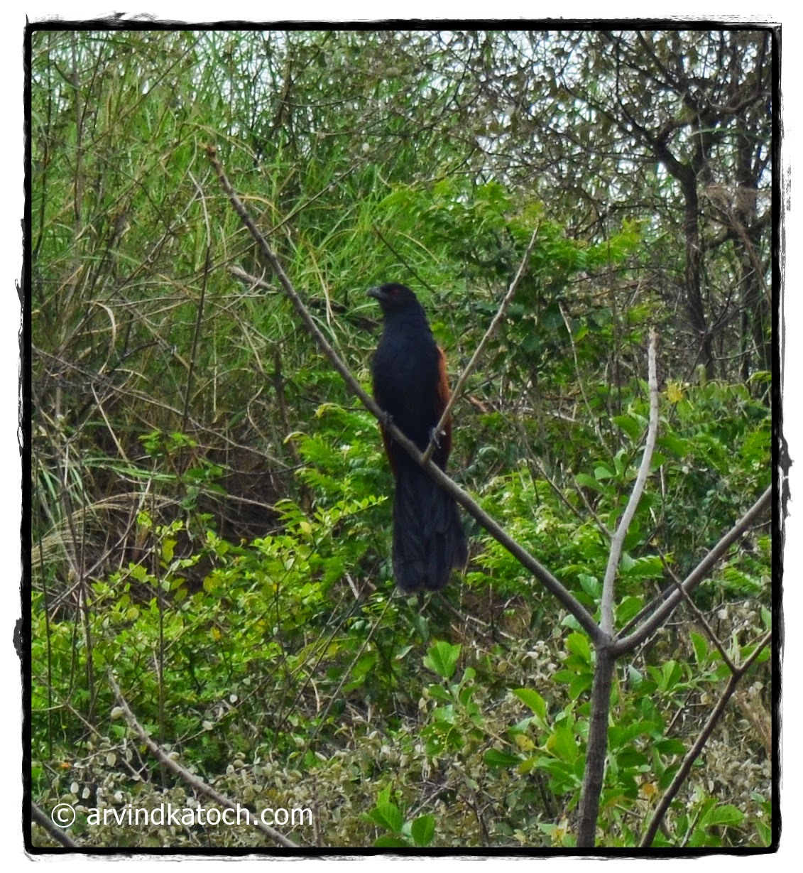 Greater Coucal, Forest