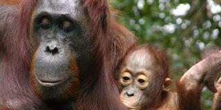 Kasih Induk Orangutan Sebesar Kasih Ibu, Ini Buktinya
