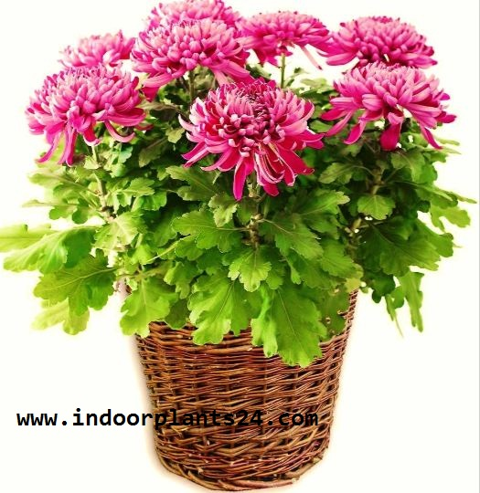 (Chrysanthemum Morifolium) Indoor house Plant picture