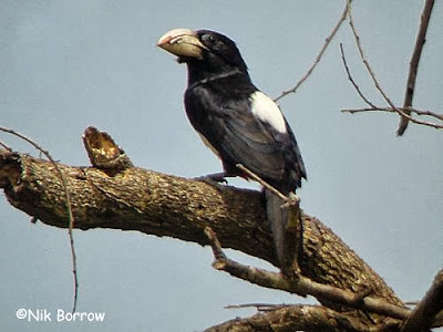 Barbudo pecho negro Pogonornis rolleti
