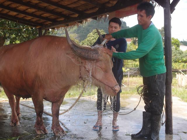 buffalo bath time