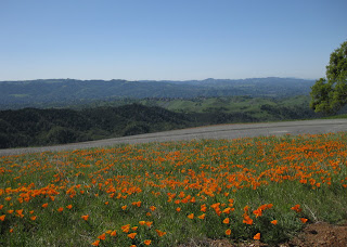 Field of California poppies overlooking distant hills