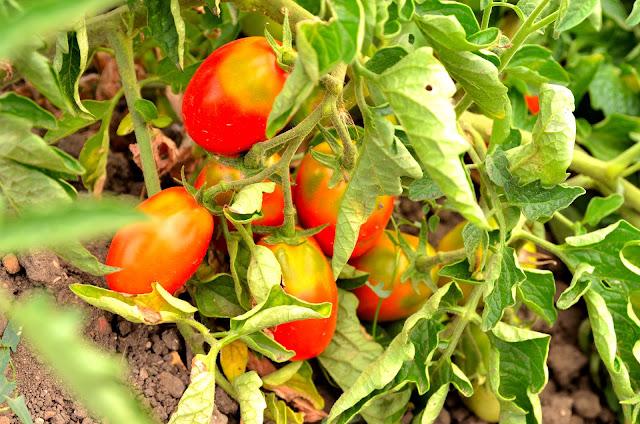 pomodoro ciettaicàle di Tolve, storia del recupero del seme del pomodoro ciettaicàle, caratteristiche del pomodoro ciettaicale, ricette pomodoro ciettaicale,