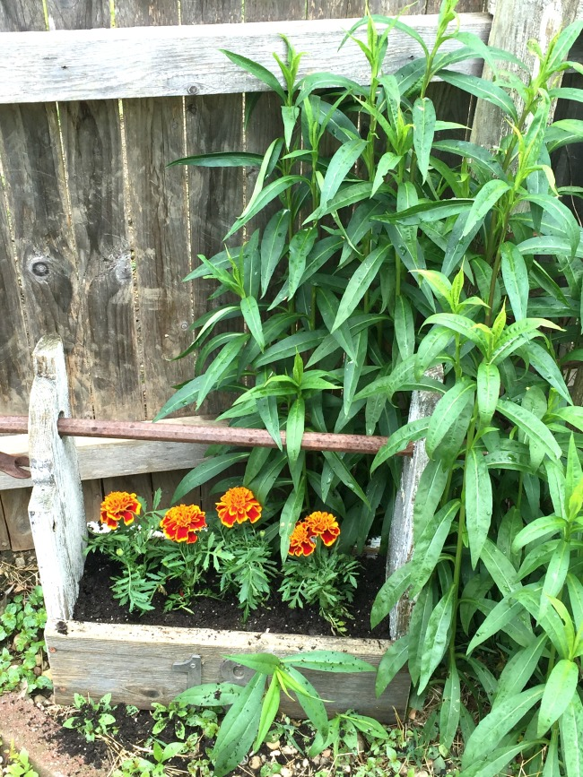 Tool box filled with marigolds.