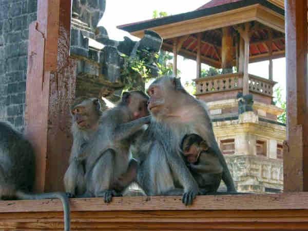 monyet pura pulaki